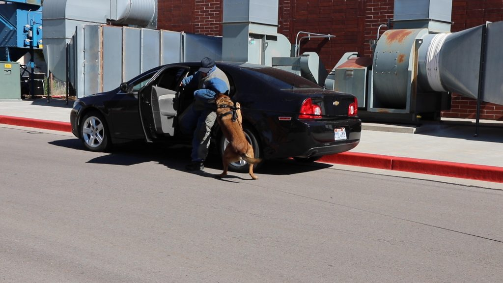 K9 Ranger pulls a cadet in a bite suit out of the back seat of a vehicle.