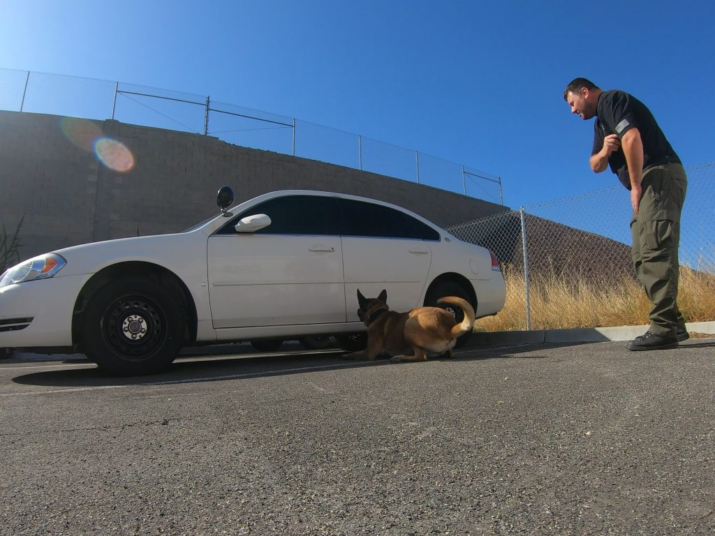 K9 Kuli sits down by a vehicle to indicate he has detected drugs as his handler stands behind him.