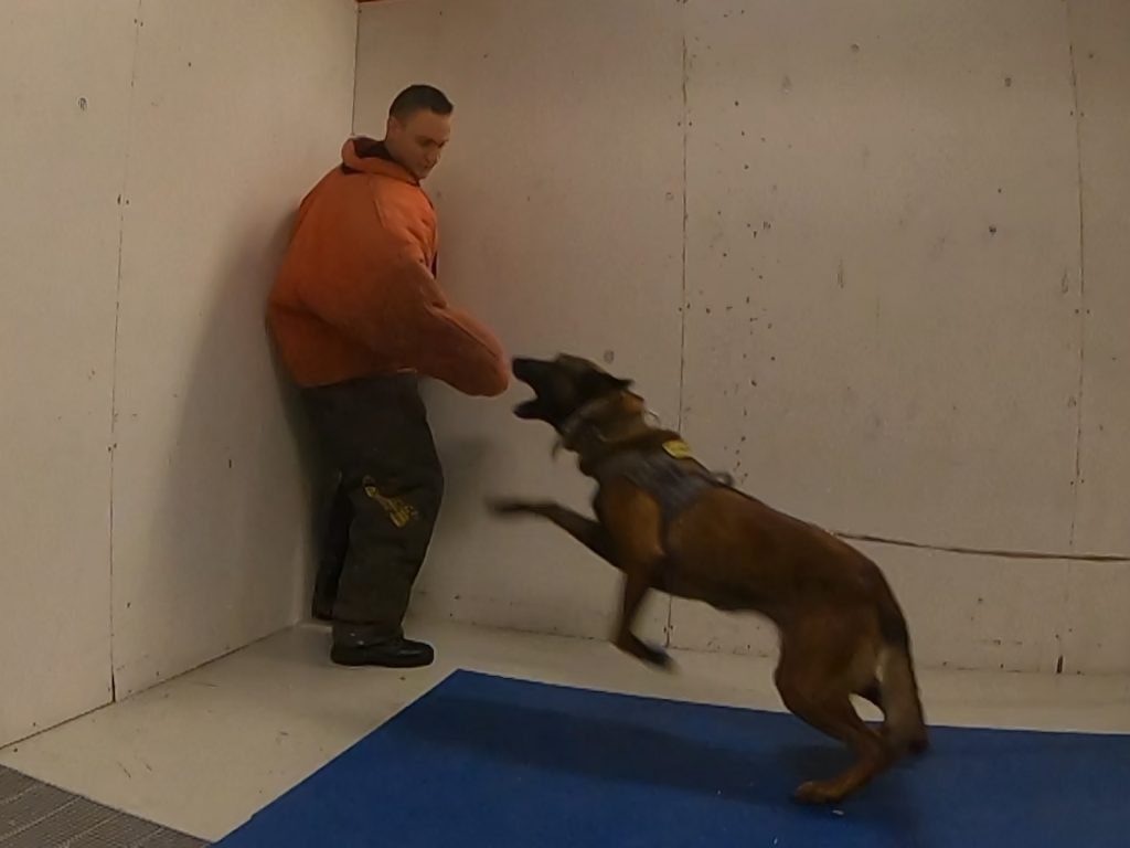 A cadet wearing a bite suit stands in the corner of the room holding his arm out as K9 Nomos lunges toward his arm with his mouth open.